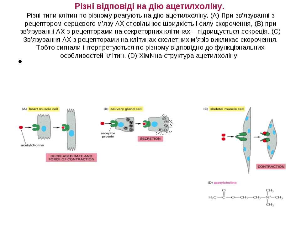 Різні відповіді на дію ацетилхоліну. Різні типи клітин по різному реагують на...
