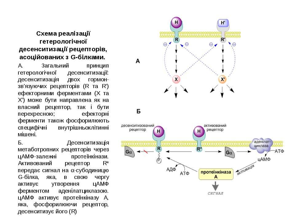 Схема реалізації гетерологічної десенситизації рецепторів, асоційованих з G-б...