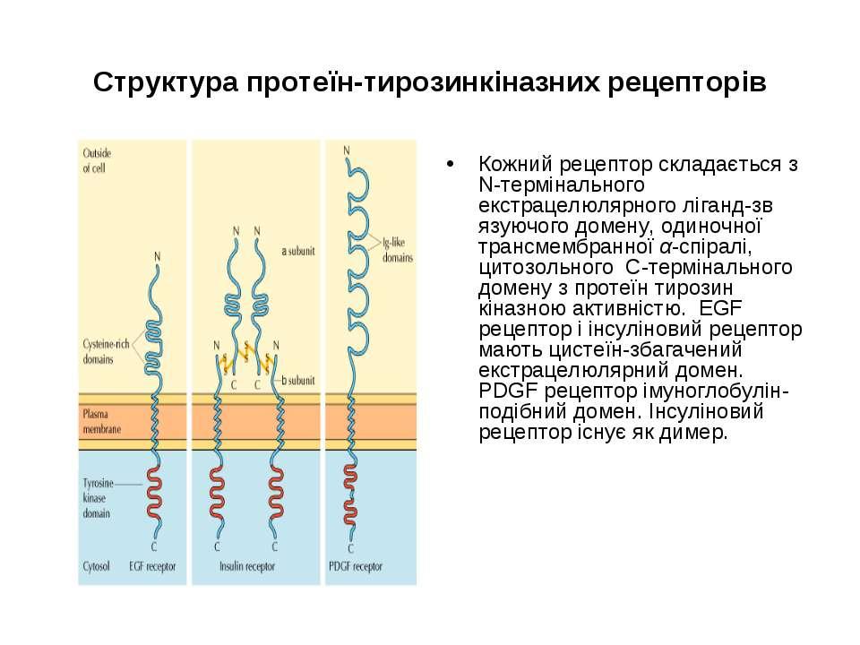 Структура протеїн-тирозинкіназних рецепторів Кожний рецептор складається з N-...