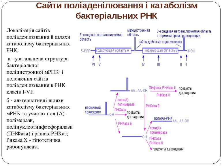 Сайти поліаденілювання і катаболізм бактеріальних РНК Локалізація сайтів полі...