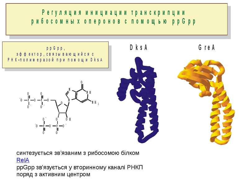 синтезується зв'язаним з рибосомою білком RelA ppGpp зв'язується у вторинному...