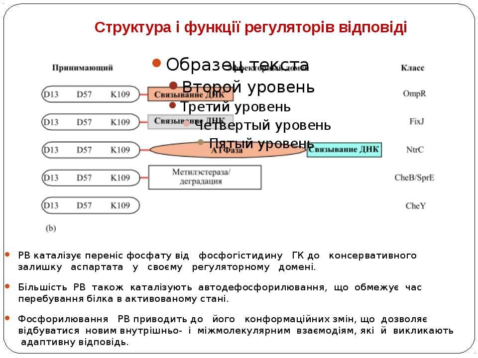 Структура і функції регуляторів відповіді РВ каталізує переніс фосфату від фо...