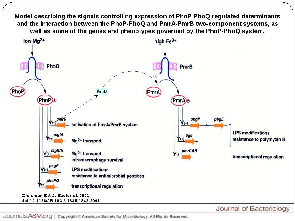 Model describing the signals controlling expression of PhoP-PhoQ-regulated de...