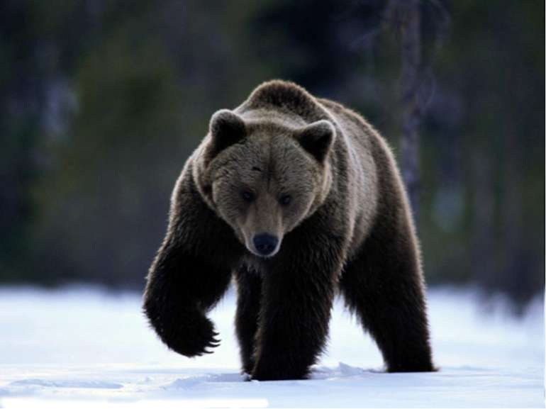 I am from Russia. I am very big and brown. I can run, climb. I live in the fo...