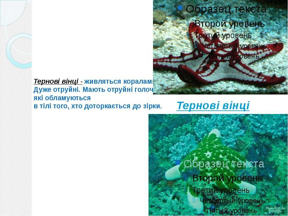 Тернові вінці - живляться коралами. Дуже отруйні. Мають отруйні голочки, які ...