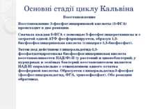 Основні стадії циклу Кальвіна Восстановление Восстановление 3-фосфоглицеринов...