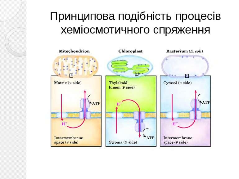 Принципова подібність процесів хеміосмотичного спряження