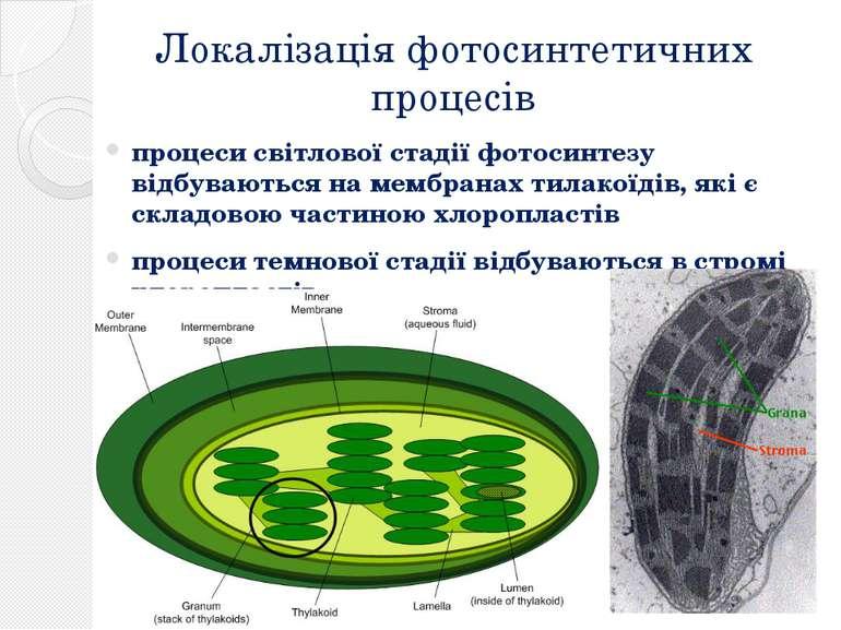 Локалізація фотосинтетичних процесів процеси світлової стадії фотосинтезу від...