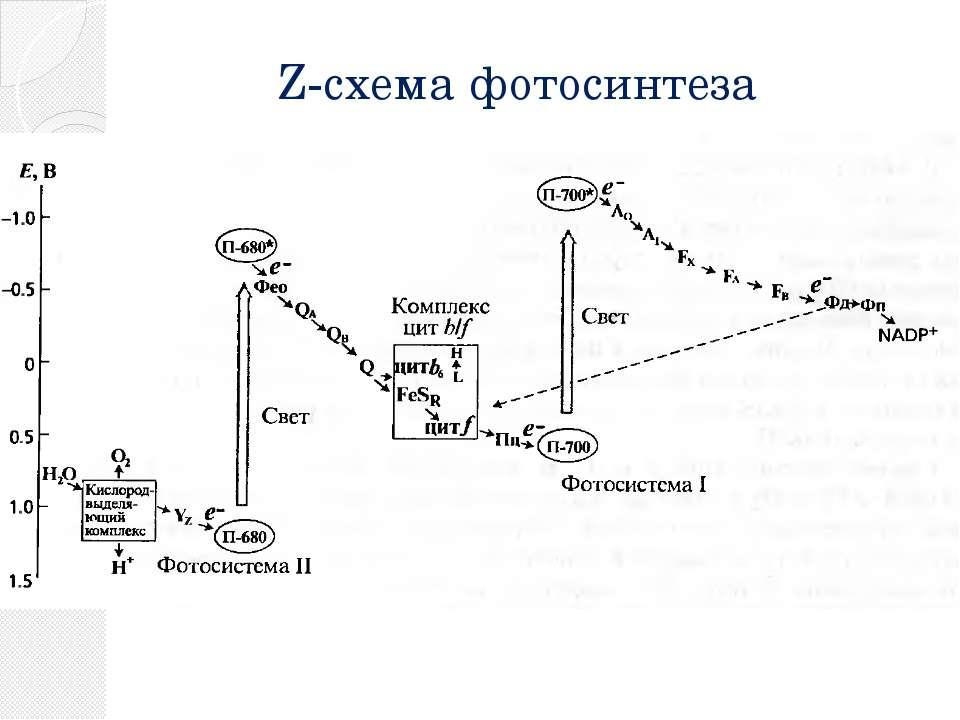 Z-схема фотосинтеза