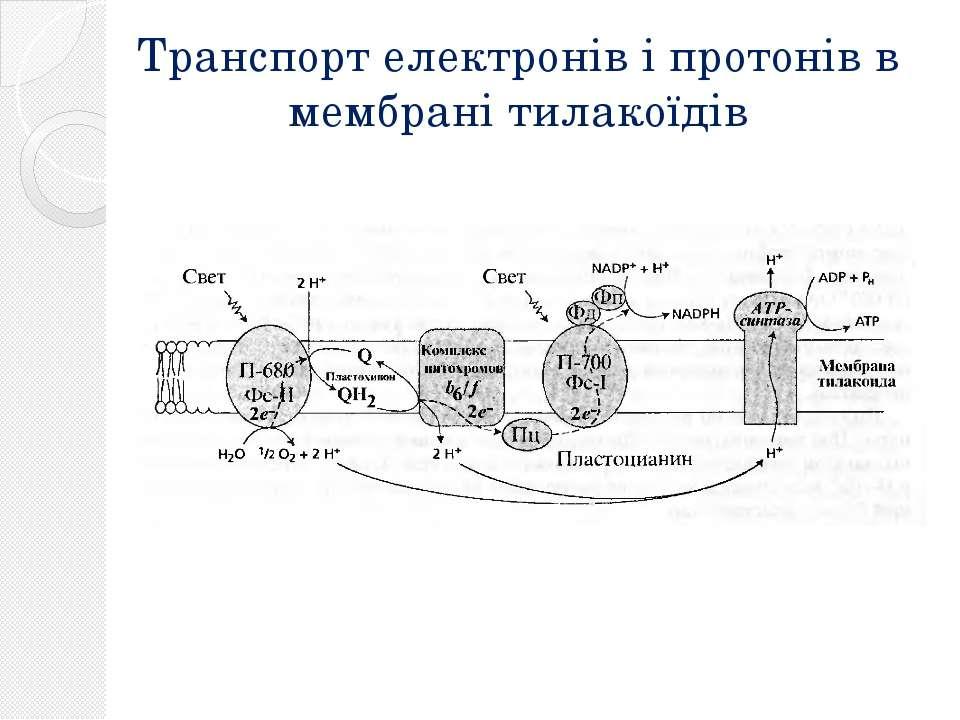 Транспорт електронів і протонів в мембрані тилакоїдів