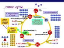 starch, sucrose, cellulose & more Calvin cycle RuBP Rubisco 1. Carbon fixatio...