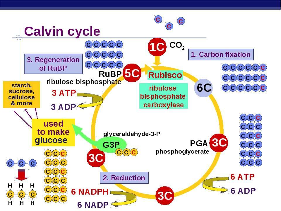 starch, sucrose, cellulose & more Calvin cycle RuBP Rubisco 1. Carbon fixatio...