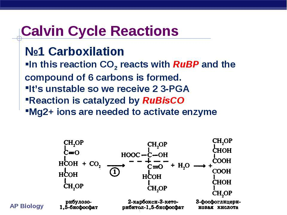 Calvin Cycle Reactions №1 Carboxilation In this reaction CO2 reacts with RuBP...