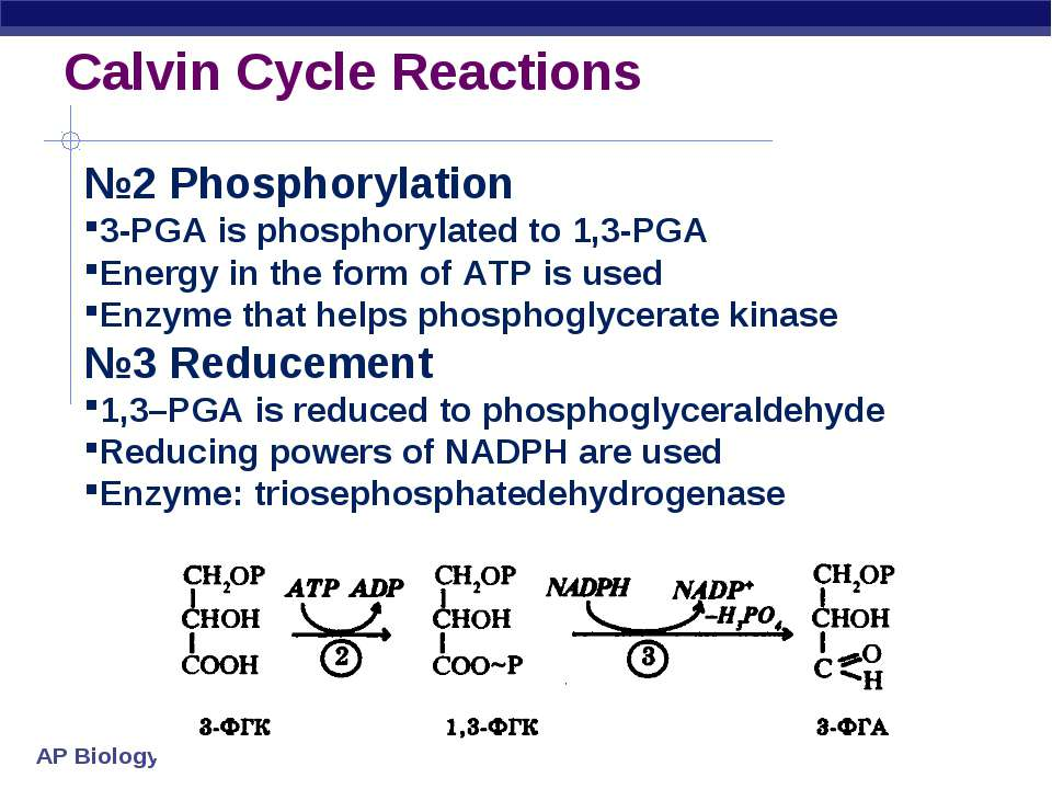 Calvin Cycle Reactions №2 Phosphorylation 3-PGA is phosphorylated to 1,3-PGA ...