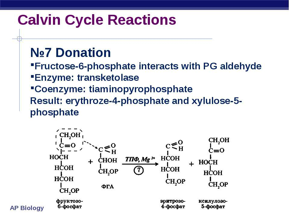 Calvin Cycle Reactions №7 Donation Fructose-6-phosphate interacts with PG ald...