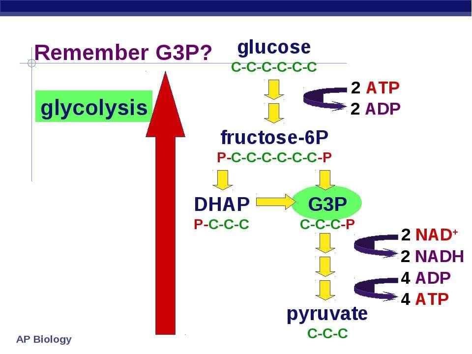 glucose C-C-C-C-C-C fructose-6P P-C-C-C-C-C-C-P DHAP P-C-C-C G3P C-C-C-P pyru...