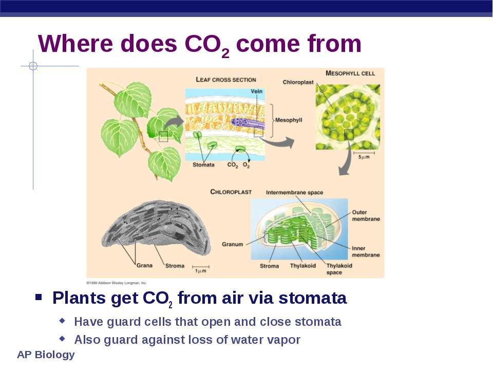 Where does CO2 come from Plants get CO2 from air via stomata Have guard cells...