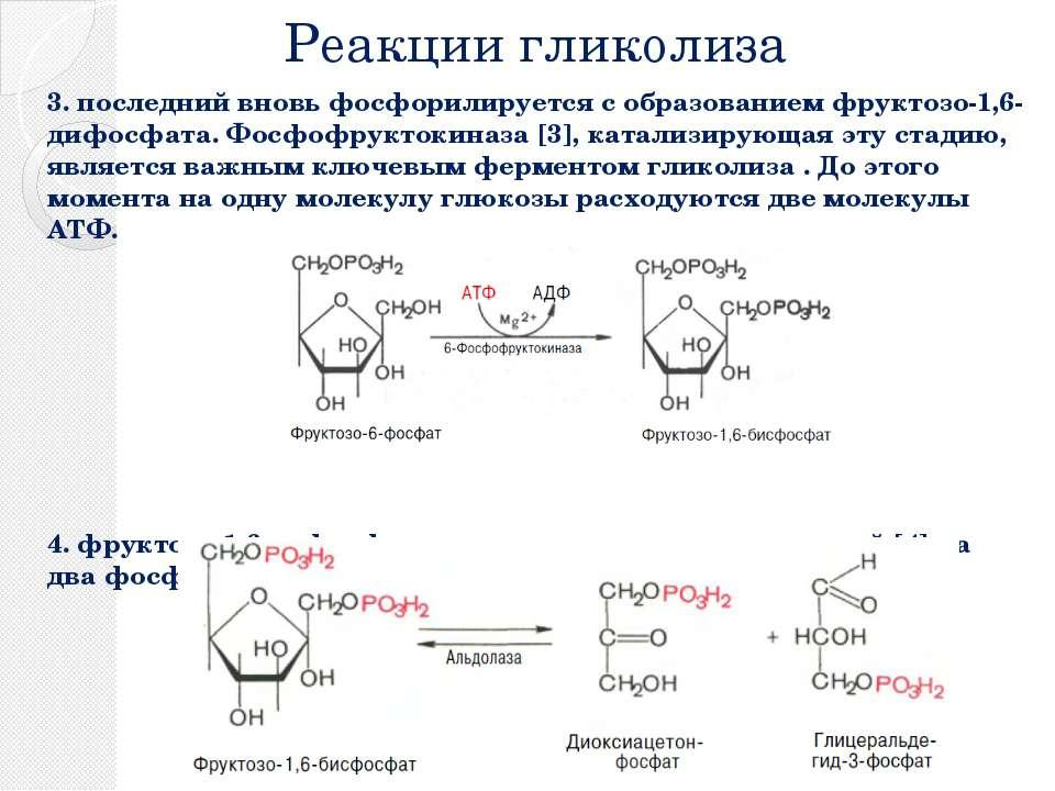 Реакции гликолиза 3. последний вновь фосфорилируется с образованием фруктозо-...