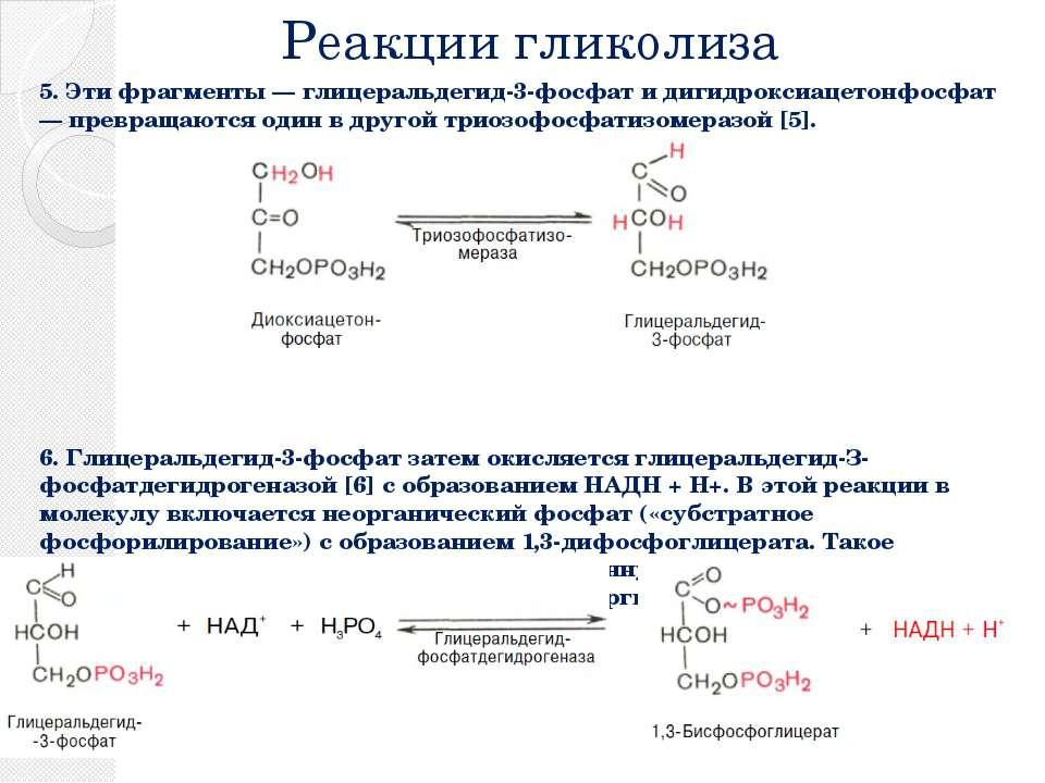 Реакции гликолиза 5. Эти фрагменты — глицеральдегид-3-фосфат и дигидроксиацет...