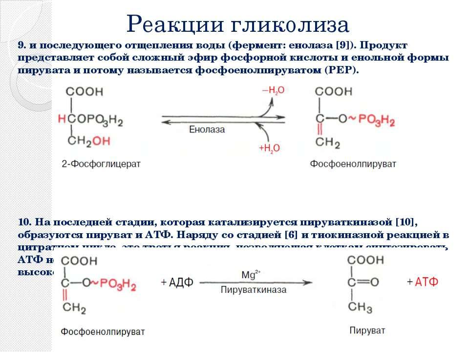 Реакции гликолиза 9. и последующего отщепления воды (фермент: енолаза [9]). П...