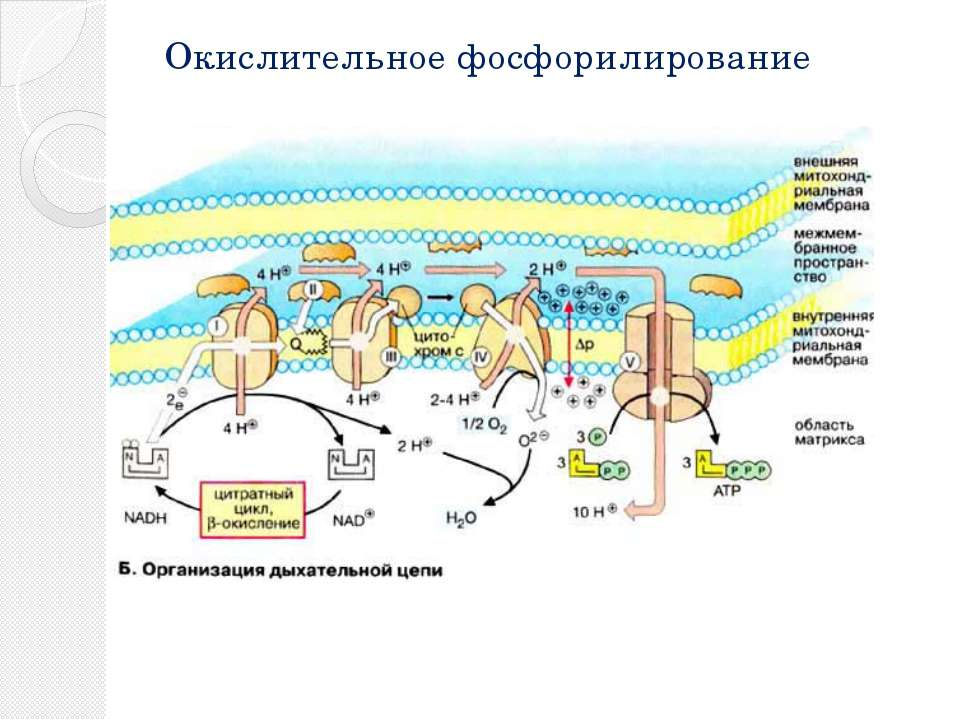 Окислительное фосфорилирование