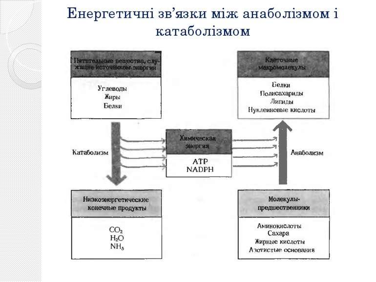 Енергетичні зв'язки між анаболізмом і катаболізмом