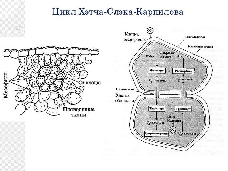 Цикл Хэтча-Слэка-Карпилова