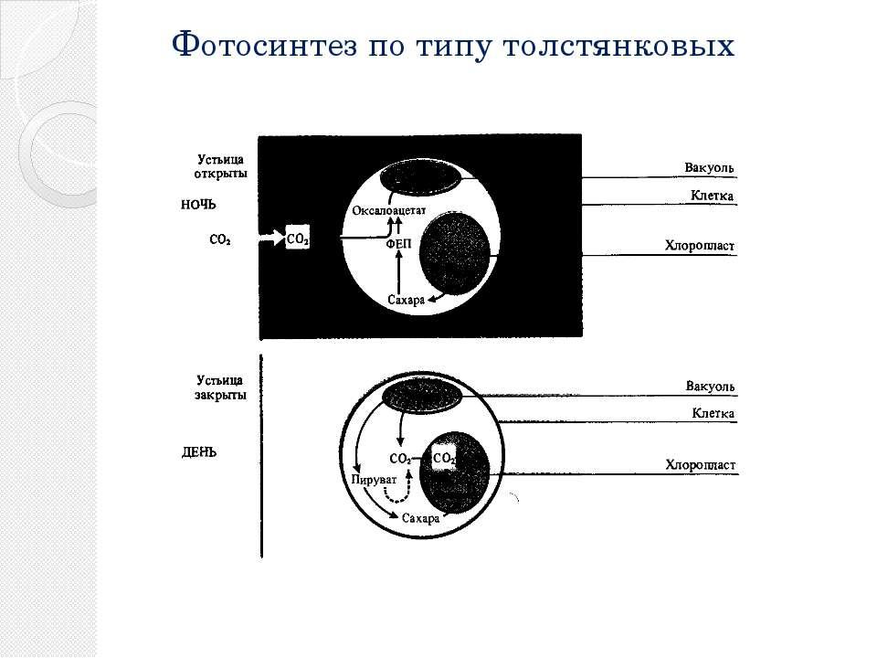 Фотосинтез по типу толстянковых