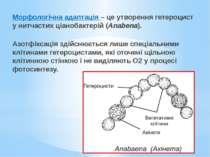Морфологічна адаптація – це утворення гетероцист у нитчастих ціанобактерій (A...