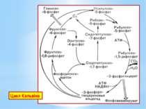Цикл Кальвіна