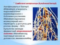 Симбіотичні азотфіксатори (бульбочкові бактерії) Азотфіксувальні бактерії (Rh...