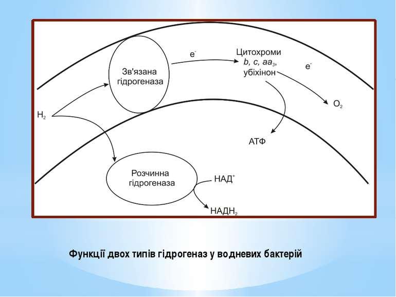 Функції двох типів гідрогеназ у водневих бактерій