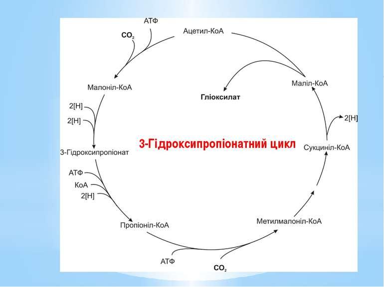 3-Гідроксипропіонатний цикл