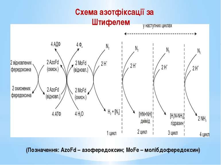 (Позначення: AzoFd – азофередоксин; MoFe – молібдофередоксин) Схема азотфікса...