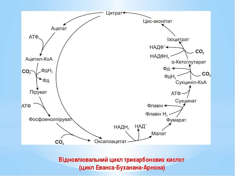 Відновлювальний цикл трикарбонових кислот (цикл Еванса-Буханана-Арнона)