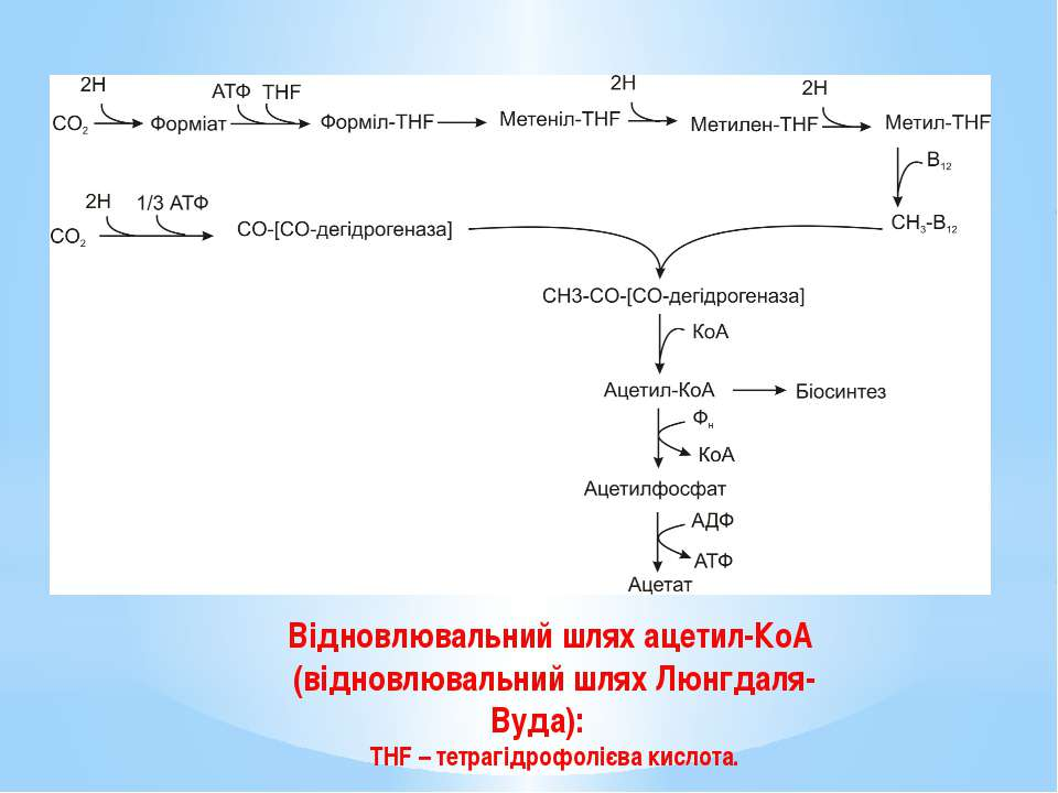 Відновлювальний шлях ацетил-КоА (відновлювальний шлях Люнгдаля-Вуда): THF – т...