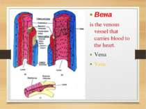Вена is the venous vessel that carries blood to the heart. Vena Vein