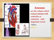 Клапани are the velums which connect atrium with ventricles or ventricles wit...