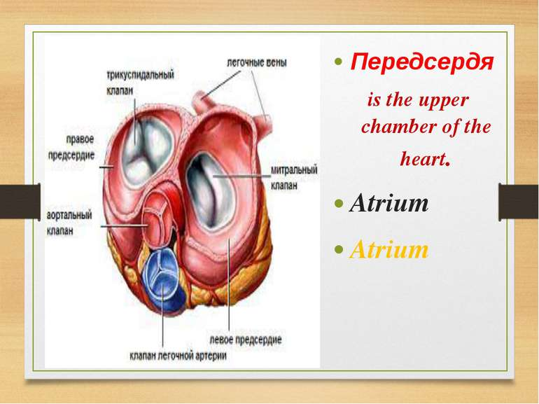 Передсердя is the upper chamber of the heart. Atrium Atrium