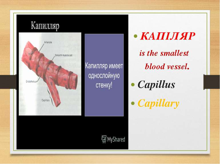 КАПІЛЯР is the smallest blood vessel. Capillus Capillary
