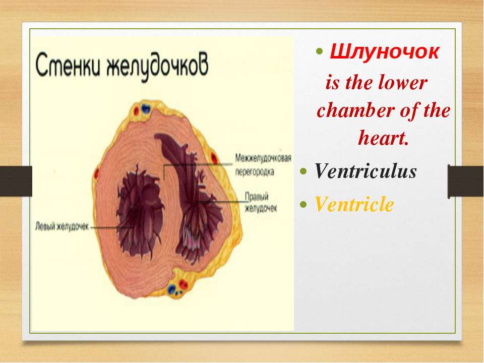 Шлуночок is the lower chamber of the heart. Ventriculus Ventricle