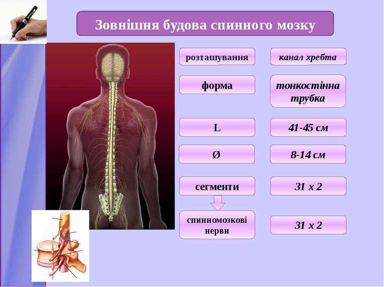 Зовнішня будова спинного мозку розташування форма L Ø 8-14 см канал хребта то...
