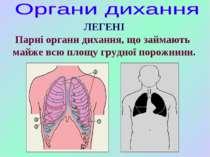 Парні органи дихання, що займають майже всю площу грудної порожнини. ЛЕГЕНІ