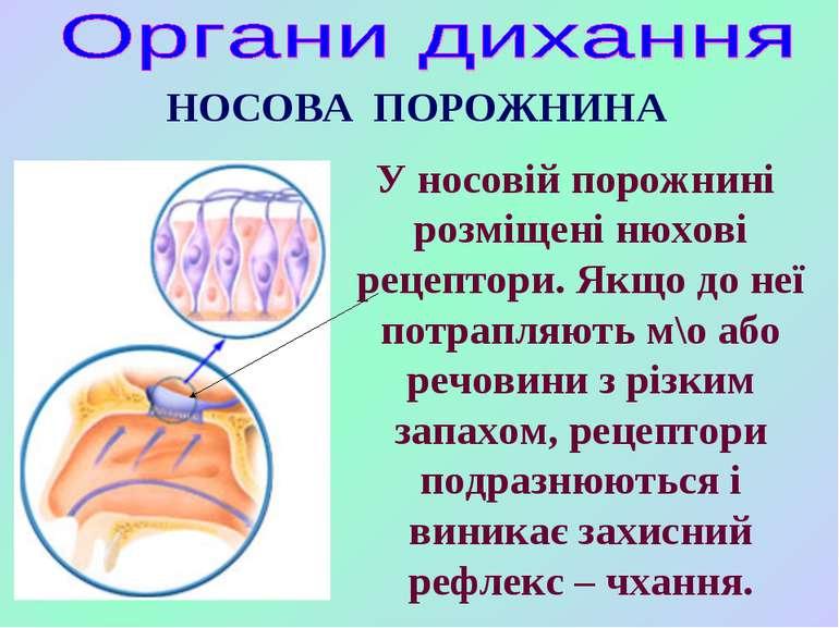 НОСОВА ПОРОЖНИНА У носовій порожнині розміщені нюхові рецептори. Якщо до неї ...