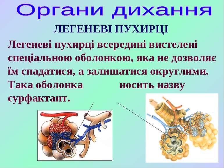 Легеневі пухирці всередині вистелені спеціальною оболонкою, яка не дозволяє ї...