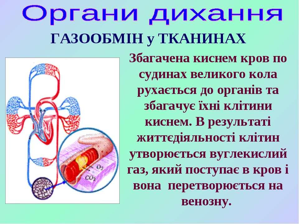 Збагачена киснем кров по судинах великого кола рухається до органів та збагач...