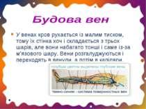 У венах кров рухається із малим тиском, тому їх стінка хоч і складається з тр...
