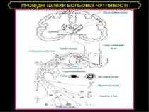 ПРОВІДНІ ШЛЯХИ БОЛЬОВОЇ ЧУТЛИВОСТІ Кора головного мозку Спино-таламічний трак...