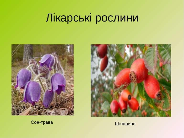 Лікарські рослини Сон-трава Шипшина