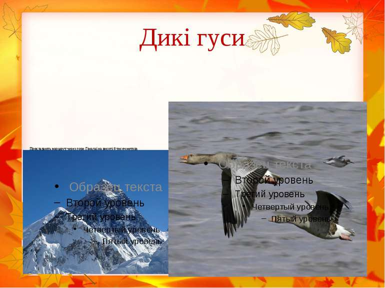 Дикі гуси Прокладають маршрут через гори Гімалаї на висоті 8 тисяч метрів.